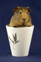 Guinea Pig in a Cup Journal