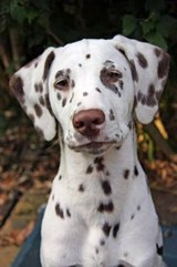 Say Hello to the Dalmation Dog Journal | Cool Image |