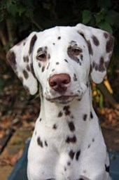 Say Hello to the Dalmation Dog Journal