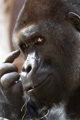 The Thinking Gorilla Journal | Cool Image |