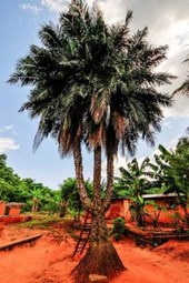 Three Trunked Palm Tree in Asiafo Amanfro Ghana Journal