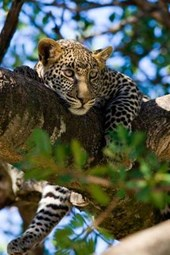 Leopard in a Tree Journal