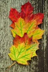 Three Autumn Leaves Displayed to Show the Color | Unique Journal |