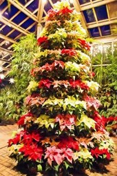 Poinsettia Plants Stacked Into a Christmas Tree Display