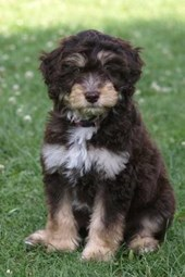 Ausiedoodle Puppy in the Grass, for the Love of Dogs