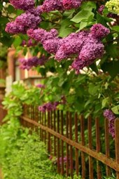 A Beautiful Lilac Bush Growing Over a Fence