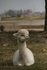 Website Password Organizer Alpaca Looking Smug | Unique Journal |