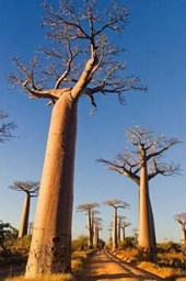 Baobab Trees in Madagascar Journal