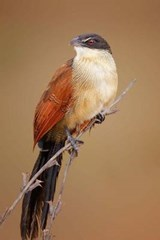 Burchell's Coucal (Centropus Burchelli) Bird Journal | Cool Image |