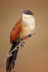 Burchell's Coucal (Centropus Burchelli) Bird Journal