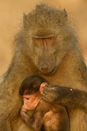 Chacma Baboon and Baby Journal