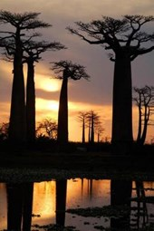 Field of Baobab Trees in Madagascar Journal