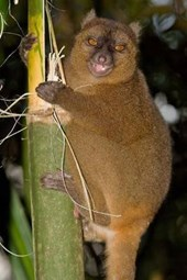 Greater Bamboo Lemur Journal