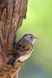 Grey-Headed Sparrow Journal