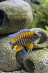 Red Jacob Peacock African Cichlid Fish Journal | Cool Image |