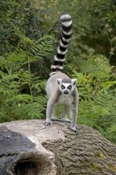 Ring-Tailed Lemur on a Tree Stump Journal