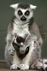 Ring-Tailed Lemur with Baby Journal | Cool Image |