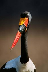 Say Hello to the Saddle-Billed Stork Journal