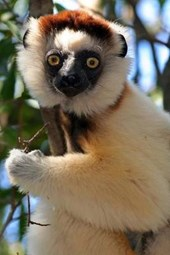 Verreaux's Sifaka Lemur in Madagascar Journal