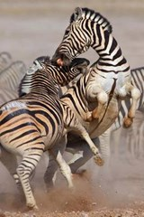 Zebra Fight Journal | Cool Image |
