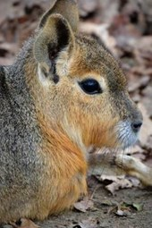 Website Password Organizer Patagonian Mara Hare Profile