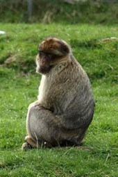 A Barbary Ape Relaxing in the Grass, for the Love of Animals