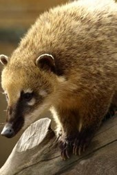 A Coati in a Tree, for the Love of Animals