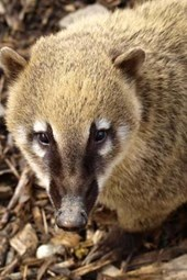 A Coati Looking Up, for the Love of Animals