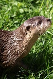 An Otter Looking for Food in the Grass