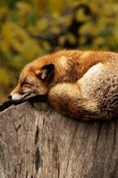 A Fox Resting on Top of a Log