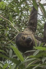 A Sloth Hanging Out in a Tree, for the Love of Animals | Unique Journal |