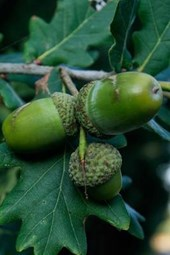 Green Acorns on the Oak Tree