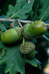 Green Acorns on the Oak Tree | Unique Journal |