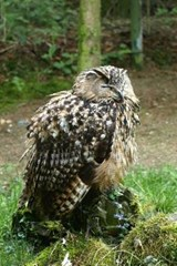 An Eagle Owl Perched Sleeping on a Stump in the Forest | Unique Journal |