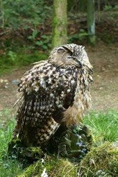 An Eagle Owl Perched Sleeping on a Stump in the Forest