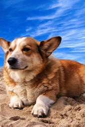 Welsh Corgi Relaxing on the Beach, for the Love of Dogs