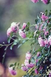 Pink Garden Roses in Spain