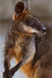 Website Password Organizer Swamp Wallaby in Australia