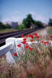 Vivid Red Poppies by the Train Track