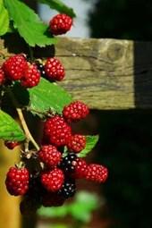 Blackberries on the Vine Starting to Ripen