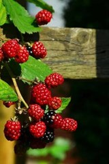 Blackberries on the Vine Starting to Ripen | Unique Journal |