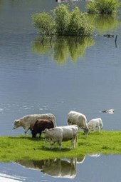 Cows on an Island in the Pond