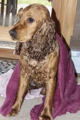 Cocker Spaniel Just Out of the Bath, for the Love of Dogs | Unique Journal |