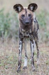 African Wild Dog Journal | Cool Image |