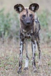 African Wild Dog Journal
