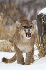 Angry Mountain Lion Journal | Cool Image |