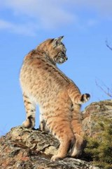Bobcat Checking Things Out Journal | Cool Image |