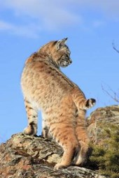 Bobcat Checking Things Out Journal