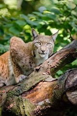 Bobcat in a Tree Journal | Cool Image |