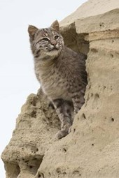 Bobcat in a Sand Formation Journal